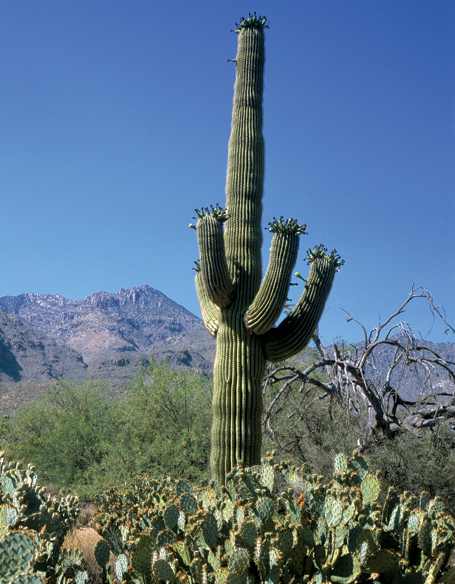 Saguaro and prickly pear cactuses image