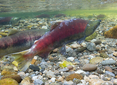 Salmon swimming in a stream