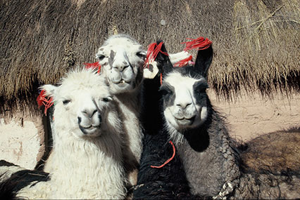 Llamas dressed for travel